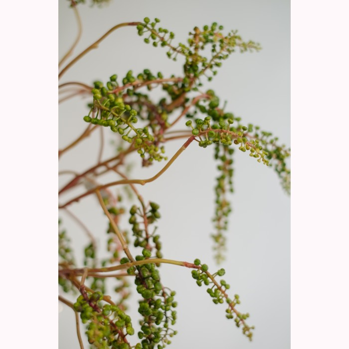 BRANCH BERRY LATIFOLIA H75 GR