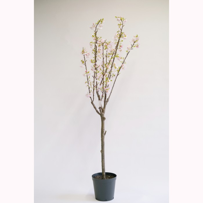 Cherry blossom potted pink  h180cm